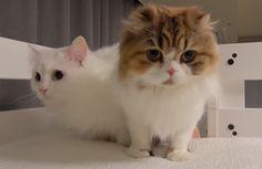 Lala & Chuchu❤🐾 Just girls Chuchu and Lala😍😍😍😍😍 Cute Baby Cats, Kittens Cutest, Cats And Kittens, Cute Babies, Nyan Nyan, Cat Photography, Beautiful Cats, Animal Memes, Cat Breeds