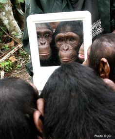 the Jane Goodall Institute   Infant chimpanzees gaze at their reflection in a mirror at the JGI Tchimpounga Sanctuary in Congo.