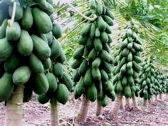 Amazon.com : Maradol Papaya Tree Seeds! Grows fruit in only 9 MONTHS from seed! 10 Seeds : Garden & Outdoor