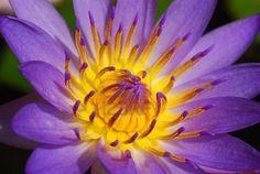 A Water Lotus in full bloom
