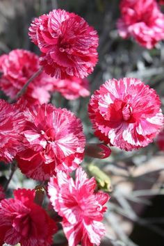 Dianthus / Red Swirl / got these for mother's day!  They smell like carnations (only better)