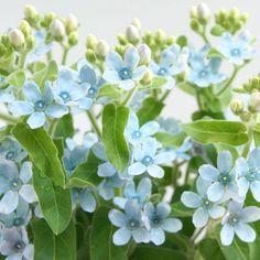 ブルースター(オキシペタルム)「ピュアブルー」 - Flower File|大田市場の花き仲卸 株式会社フローラルジャパン