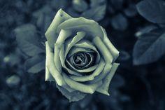 rare rose wallpaper | Top 10 Wallpapers of Rare Rose Flowers