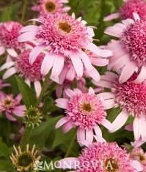 Pink Double Delight Cone Flower