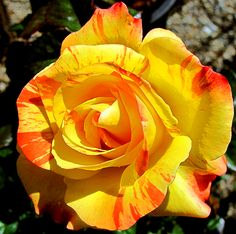"""""""Chihuly"""" rose...photo by Mark W. Patterson"""