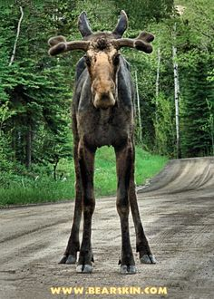 The internet's favorite moose.  Photo taken by Crystal Clemons. Bearskin Lodge, Gunflint Trail, Cook County, Minnesota