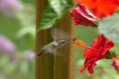 Hummingbirds & Hibiscus