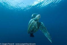 Leatherback sea turtle underwater Leatherback sea turtle (Dermochelys coriacea) underwater