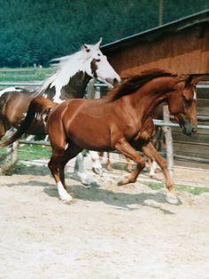 Tatanka was my red appaloosa horse finest character