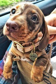A Cute Dachshund Puppy With Big Eyes A Cute Dachshund Puppy With Big Eyes,You can find Dachshund and more on our website.A Cute Dachshund Puppy With Big Eyes A Cute Dachshund. Dapple Dachshund Puppy, Dachshund Breed, Dachshund Funny, Dachshund Clothes, Dachshund Gifts, Funny Pugs, Daschund, Cute Puppies, Cute Dogs