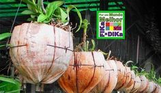 Plantando no Coco Você sabia que, na natureza, aquele coco delicioso que você toma pra se refrescar,demora 10 anos para se decompor? Felizmente ele já é bastante usado em reciclagem. Os principais usos da casca de coco são: o substrato agrícola (pó de coco, de grande aceitação na Europa para uso em estufas), fibras (usadas…