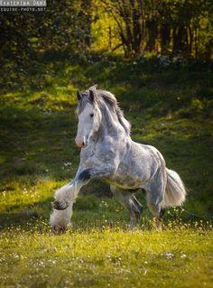 Draft Horses - Equine Photography by Ekaterina Druz Big Horses, Cute Horses, Horse Love, Black Horses, Dapple Grey Horses, Horse Photos, Horse Pictures, Most Beautiful Animals, Beautiful Horses