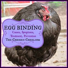 When a hen has an egg inside her oviduct, she is referred to as being egg-bound. Egg-binding can be a life-threatening condition that must be addressed quickly, preferably by a seasoned, chicken veter(Chicken Backyard Health) Egg Bound Chicken, Chicken Life, Chicken Chick, Chicken Eggs, Chicken Houses, Chicken Ideas, Chicken Facts, Chicken Garden, Chicken Strips