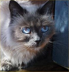 Himalayan cats are a breed of cat with extremely long, fluffy fur, and the   blue eyes and the points of a Siamese. Himalayan cat is the American term.    In Europe they are referred to as colorpoint Persians.