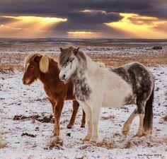 icelandic horse - Google Search