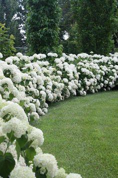hydrangea hedges