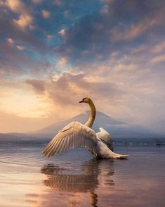 Good morning Mount Fuji and swan - Lake Yamanaka, Yamanashi, Japan by CoolBieRe Beautiful Swan, Beautiful Birds, Animals Beautiful, Nature Animals, Animals And Pets, Cute Animals, Swans, Animal Photography, Nature Photography