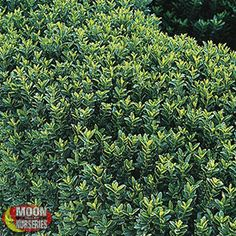 1000 images about landscape shrubs on pinterest shrubs for Landscaping plants that stay small