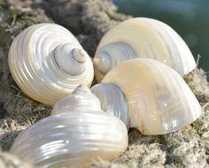 Seashells for sale Seashell Display, Seashell Decorations, Seashells For Sale, Orange Spider, Sea Snail, Shell Collection, Scallop Shells, Shell Art, Shell Crafts
