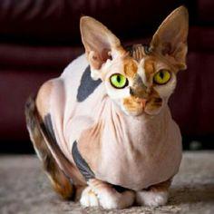 Hairless cat @Sandra Pendle Vanderbeck Heyrich Mecca
