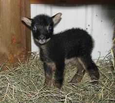 River Oaks Farm & Studio: Last Lamb and Lost Lamb-Its not always bad being the black sheep... <3