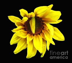 """$4.45 ... Droops Sunflower With Oil Painting Effect ...  A photograph I took of a lovely sunflower . An """"oil painting"""" effect has been added digitally. The """"Fine Art America"""" watermark (in the lower right corner) will NOT be on your purchased product.  ... #fineartamerica #flowers #art #photography #sunflowers"""