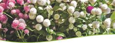 Benary Smile is a complete flower seeds store offering  huge variety of flower seeds. You can also buy flower seeds online india, buy seeds online india, Flower seeds online, Seeds online india, order flower seeds online , flower seeds, Flower seeds online india, benary seeds, garden seeds, seeds buy online, flower seeds online purchase india. http://www.benarysmile.com/