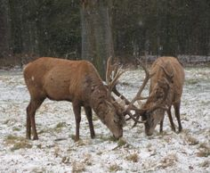 Stags in snow at Wollaton Park