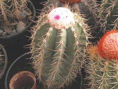 Melocactus-azureus