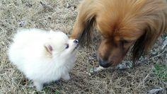 Mad Pomeranian puppy! Pomeranian Puppy, Pomeranians, Corgi, Mad, Creatures, Puppies, Pets, Animals, Corgis