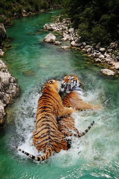 Water Play #tigers