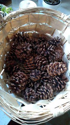 MT pine cones (22)