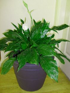 Large Green Leaves Indoor Plants
