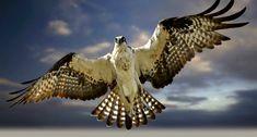 Osprey - zoltán kovács - Google+
