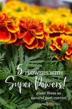 5 flowers with super powers: plant these as natural pest control - Some stop nematodes in their tracks. Others attract aphids away from your veggies. And some are just so darn powerful that they will repel every tick, cockroach, and bedbug in sight! Pretty and powerful? Now that's the kind of organic gardening I can get behind! These super flowers deter pests in the garden, and add their own special brand of style too.#gardentherapy#gardening#organicgardening#perstcontrol#flowerpower