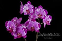 Dtps. Taiwan Red Cat 'Red Cat' (Phalaenopsis orchid) by hawaiiansunshine, via Flickr