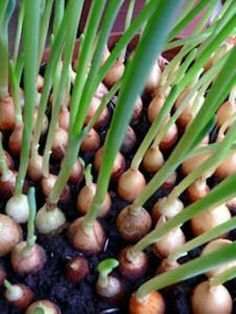 Never Pay For Onions Again: Grow Them Indoors Isn't this a beauty? How about yours, FitLifer? Share with me a photo of your very own grown herbs/plant