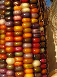 "A""maize""ing colors of Indian Corn - beautiful!"