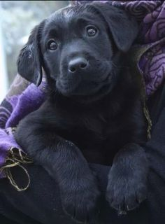 Black Labrador Retriever Puppy Dog Puppies Hound Dogs Labs #bigdogs