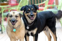 https://flic.kr/p/YCRte9 | I Like Big Mutts | I adopted Cammie (on the left) and Diesel from Woods Humane Society in San Luis Obispo. Cammie was pregnant and wandering the streets of Tehachapi when a rescue organization there took her in. She was taken to Woods and homes were found for her and all her puppies.  Diesel was a transfer from the San Luis Obispo Animal Reg. (the Pound!) Both are wonderful dogs.