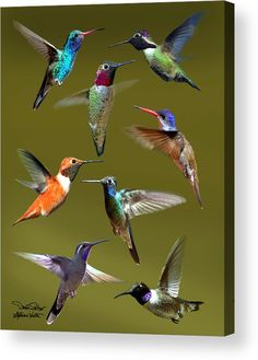 Hummingbird Collage Poster by David Salter. All posters are professionally printed, packaged, and shipped within 3 - 4 business days. Choose from multiple sizes and hundreds of frame and mat options. bird Hummingbird Collage Poster by David Salter Pretty Birds, Love Birds, Beautiful Birds, Animals Beautiful, Cute Animals, Birds 2, Small Birds, Beautiful Scenery, Beautiful Butterflies