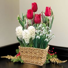 Festive Cheer Bulb Garden: Nothing says Christmas like red and white! This festive bulb garden is a gorgeous combination of brilliant red Tulips and sparkling White Pearl Hyacinths and Snowdrops. You'll love the variety of sizes, textures, and forms. And of course, the sweet fragrance will be a welcome gift as well! -- This product is no longer available, however click the image to see this year's Bulb Garden Gift Plants!