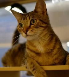 Tabitha aka Casper is an adoptable Domestic Short Hair Cat in Cumming, GA. Hi! My name is Tabitha, a beautiful tabby female DSH born around 6/9/2009. Currently I live at the adoption center with lots ...