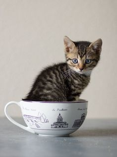 cute tabby kitten in a cup
