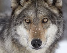 Wild Wolves | ... wolf reintroduction, and protecting the wild places that wolves need