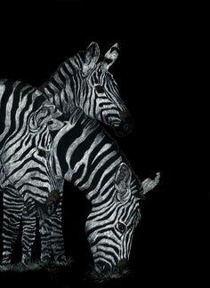 Three Zebra's Giclee print from my original by KayMurphysStudio, $30.00