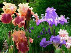 Spring  Iris, just the thing for a Spring garden. LM
