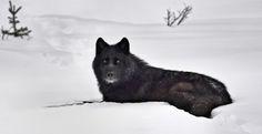 Matt in wolf form