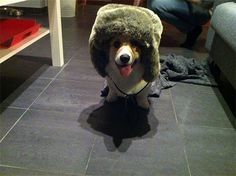 Corgi is ready for Russian winters