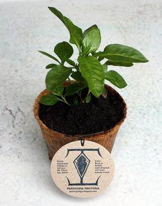 Growing Indigo indigo plant